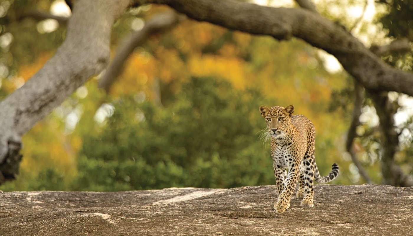 Leopard (Panthera pardus) - Strutting His Stuff
